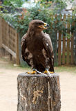 Golden eagle staring at left side. Zoo. Dalian. China Stock Photos
