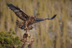 Golden eagle take off. A golden eagle with pine marten prey taking off in Norway Stock Photos