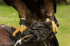 Golden eagle talons. Talons of a golden eagle, Adare, Ireland royalty free stock photography