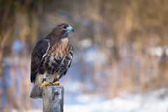 Golden Eagle. On a tree trunk Stock Photography
