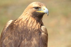 Golden eagle. The upper body of golden eagle stock photo