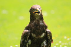 Golden eagle. The upper body of golden eagle Stock Photography
