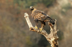 Golden eagle watches from the wooden watchtower in the field Stock Photo