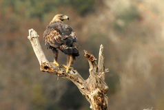 Golden eagle watches from the wooden watchtower Royalty Free Stock Photos
