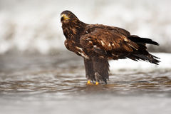 Golden Eagle in the water during snowy winter. Golden Eagle in the cold river, hunting fish. Snow winter with Golden Eagle. Birds Royalty Free Stock Image