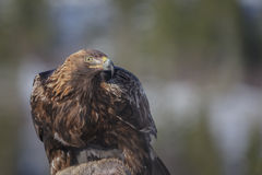 Golden eagle. Wild golden eagle feasting on a roe deer carcass Stock Image