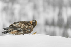 Golden Eagle. Royalty Free Stock Images