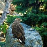 Golden eagle in a wildlife. The golden eagle in a wildlife Stock Photos