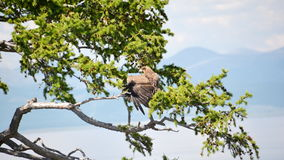 Golden eagle with a wing uncool in profile sitting on a branch of Larch on the background of lake Hovsgol. Mongolia. Golden eagle with a wing uncool in profile Stock Photos