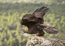 Golden Eagle. Wings released after capturing a pigeon Royalty Free Stock Photo