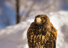 Golden Eagle in Winter. Close up of a Golden Eagle during Winter in Japan Royalty Free Stock Images