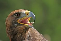 Golden Eagle with a yellow beak and bright eyes Stock Photos