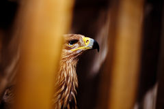 Golden eagle in a zoo Stock Images