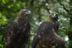Golden eagles, Aquila chrysaetos. Two golden eagles at Grandfather Mountain, North Carolina royalty free stock photo