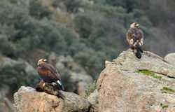 Golden eagles eat Royalty Free Stock Photo