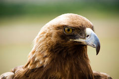 Golden Eagles head. Close shot of a golden eagles head royalty free stock image