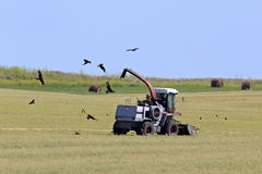 Golden Eagles soar over the field after tractor Royalty Free Stock Images