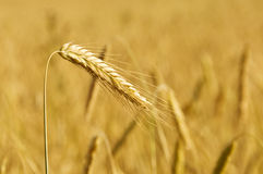 Golden ear against wheat field Royalty Free Stock Image