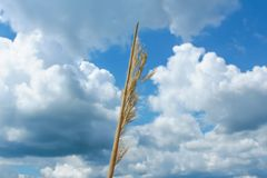 Golden ear on background blue sky and clouds. Close up royalty free stock images