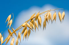 Golden ear of oats against the blue sky and cloud Stock Photos
