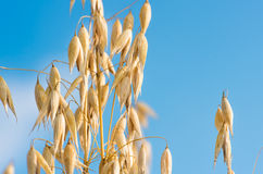 Golden ear of oats against the blue sky and cloud Royalty Free Stock Images