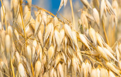 Golden ear of oats against the blue sky Royalty Free Stock Photo