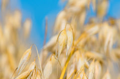 Golden ear of oats against the blue sky Stock Images