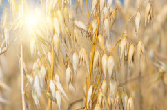 Golden ear of oats against the blue sky and sun Royalty Free Stock Images