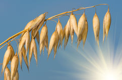 Golden ear of oats against the blue sky and sun Royalty Free Stock Photo