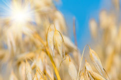 Golden ear of oats against the blue sky and sun Royalty Free Stock Photos