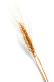 Golden ear of wheat. On the white background Royalty Free Stock Image