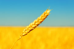 Golden ear of wheat Royalty Free Stock Photo