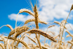 Golden ear of wheat. On a background of blue sky stock image