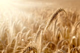 Golden ear in a wheat field Stock Photos