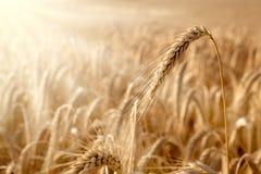 Golden ear in a wheat field Stock Photos