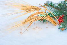 Golden ear of wheat and grain in the snow, winter Stock Photo