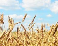 Golden ear of wheat. Golden wheat ear piercing blue sky Stock Photography