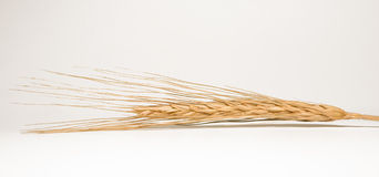 Golden ear on white background. Ripe wheat as a concept of abundance Stock Photography