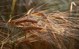 Golden Ears of Barley Royalty Free Stock Photo