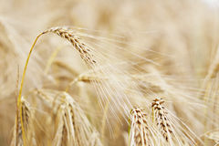Golden ears of barley. (selective focus Royalty Free Stock Photography