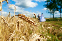 Golden ears on the field. In the background of the newlyweds, sunny day Royalty Free Stock Images