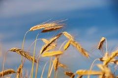 Golden ears of grain against a blue sky Stock Photos