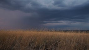 Golden ears of grass swaying in the breeze at sunset. Heavy dark blue rain clouds on the horizon. It is going to be. Darker and rainy soon. Sun is already had stock video footage