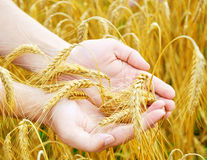 Golden ears in hands Royalty Free Stock Images