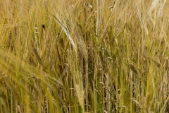 Golden ears of mature grain in the field. In sommer Royalty Free Stock Image
