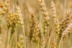 Golden ears of mature wheat. Close-up Stock Photo