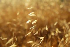 Golden ears of oat stock photo