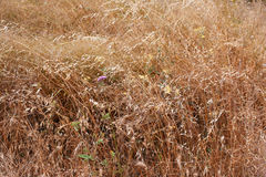 Golden ears of oat on the field Stock Image