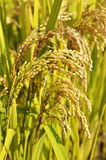 Golden ears of rice Stock Images