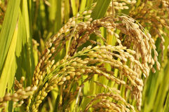 Golden ears of rice Royalty Free Stock Photos